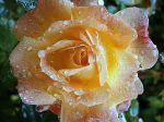 163 rose
